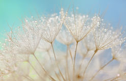 Maskrosfrö - fluffig blowball Arkivfoto