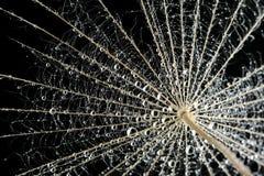 maskrosliten droppe kärnar ur vatten Royaltyfria Bilder