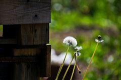Maskrosnärbild på naturen i sommar Vinden blåser bort frö av maskrosor royaltyfri bild