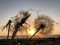 Maskrosnärbildkontur mot solnedgånghimmel, meditativ zenbakgrund arkivfoto