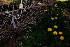 Maskrosor är blommande Royaltyfri Foto