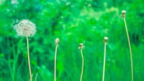 Maskrosor bland andra växter på gräsmattan Royaltyfria Bilder