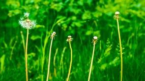 Maskrosor bland andra växter på gräsmattan Royaltyfri Fotografi