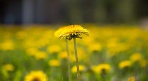 maskrosor field yellow Royaltyfri Fotografi