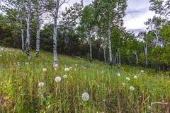 Maskrosor i gräs- äng bland träd arkivbild