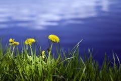 Maskrosor i gräset på bakgrunden av sjön som reflekterar molnen Arkivbilder