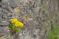 Maskrosor i medeltida vaggar väggen Royaltyfri Foto