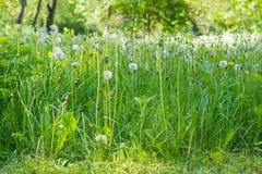 Maskrosor med dunigt kärnar ur huvud bland den höga gräscloseupen Fotografering för Bildbyråer