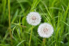 Maskrosor på bakgrundsgräset fotografering för bildbyråer