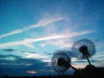 Maskrosor på en bakgrund av blå himmel för solnedgång i sommar royaltyfri bild