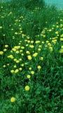 Maskrosor på gräsmattan av staden Arkivfoton