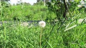 Maskrossommar gör grön naturen stock video