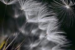 Maskrosväxtmakro Arkivfoton