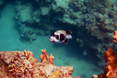 Masks blowfish Stock Photography