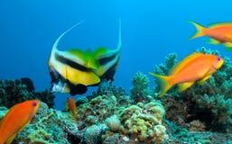 maskująca motylia ryba Fotografia Royalty Free