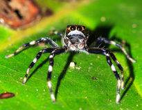 Masoala跳跃的蜘蛛 免版税库存照片