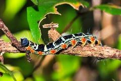 Masoala Caterpillar royalty-vrije stock afbeelding