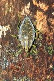 Masoala Jewel Beetle Stock Image