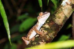 Masoala Leaf-tailed Gecko Royalty Free Stock Photos