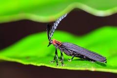 Masoala net-winged beetle Stock Image