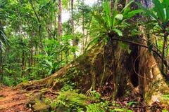 Masoala tree roots Royalty Free Stock Photo