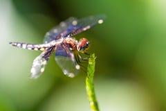 Masoala Widow dragonfly. Pres. Widow Dragonfly (Palpopleura portia) in the forest of Masoala, Madagascar royalty free stock images