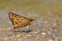 Mason's ace butterfly. Of thailand background Royalty Free Stock Images