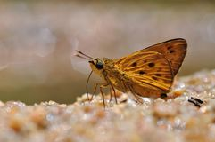 Mason's ace butterfly. Of thailand background Stock Photo