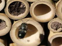 Mason Bee Approaching Nest Royalty Free Stock Photography