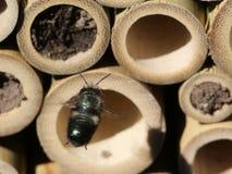 Mason Bee Approaching Nest royalty free stock photography