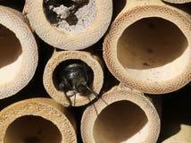 Mason Bee in Bamboenest Stock Afbeeldingen
