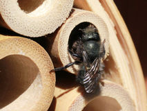 Mason Bee Finishing een Nest in een Bamboebuis stock foto's