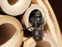 Mason Bee Finishing ett rede i ett bamburör arkivfoton