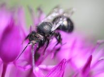 Mason Bee op Allium stock foto
