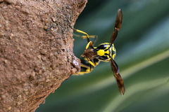 Mason wasp building nest. Mason wasp or Potter wasp-Winged hymenopteran insects- slender body with the abdomen attachment by a narrow stalk-Solitary wasp stock photo