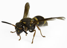 Mason wasp Stock Images
