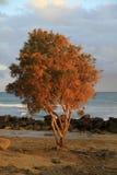 Maspalomas drzewo przy zmierzchem Zdjęcia Royalty Free