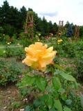 Masquerade Rose Stock Photos