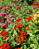 Mass of African daisies. Mass of colorful, annual African daisies in a flower bed. Late afternoon sun stock photos
