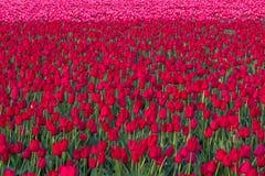 Mass av röda tulpan som växer i ett fält arkivfoto