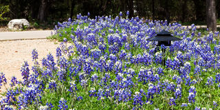 Mass of bluebonnets. Bluebonnets, the Texas state flower and a spring staple in the Texas hill country landscape, in bloom in a large natural garden setting stock photography
