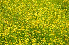 Mass of buttercups Royalty Free Stock Photos
