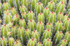 Mass of Cactus Stock Photo