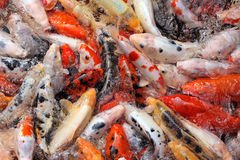 Mass carp feeding close up Royalty Free Stock Image