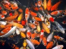 Mass of carp fish