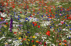 A mass of coloured flowers. Masses of coloured colored flowers on a roadside verge in Rotherham UK Stock Photo