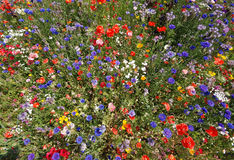 A mass of coloured flowers. Masses of coloured colored flowers on a roadside verge in Rotherham UK Royalty Free Stock Photography