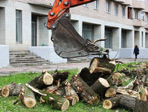 Mass cutting of adult poplars in the city. The excavator with bucket moves the wooden pieces Stock Image
