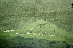 mass of dead algae formed on surface of water due to algae bloom Royalty Free Stock Photo