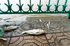 Mass dead fish taken out of polluted lake laying down on urban sidewalk.  Royalty Free Stock Photos